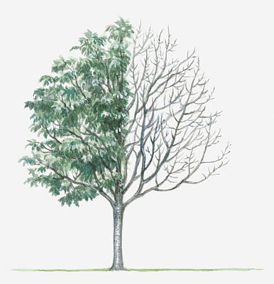 Y120907 Digital Art - Illustration Showing Shape Of Deciduous Sorbus X Thuringiaca (bastard Service Tree) With Green Summer Foliage And Bare Winter Branches by Dorling Kindersley