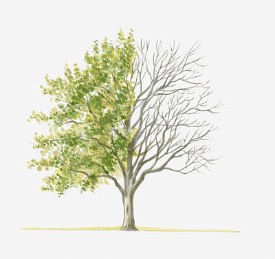 Y120907 Digital Art - Illustration Showing Shape Of Prunus Cocomilia (italian Plum) Tree With Green Summer Foliage And Bare Winter Branches by Dorling Kindersley