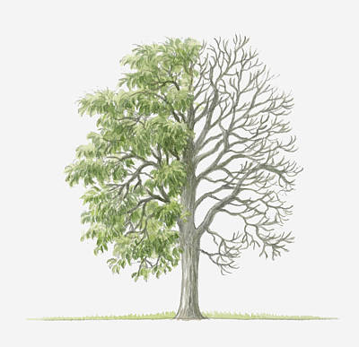 Pear Tree Digital Art - Illustration Showing Shape Of Pyrus Amygdaliformis (almond-leaved Pear) Tree With Green Summer Foliage And Bare Winter Branches by Dorling Kindersley