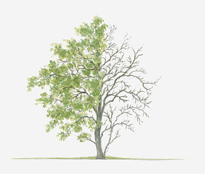 Pear Tree Digital Art - Illustration Showing Shape Of Pyrus Cordata (plymouth Pear) Tree With Green Summer Foliage And Bare Winter Branches by Dorling Kindersley