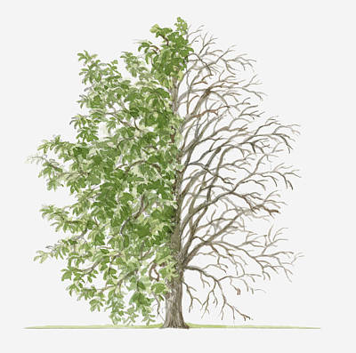 Pear Tree Digital Art - Illustration Showing Shape Of Pyrus Nivalis (snow Pear) Tree With Green Summer Foliage And Bare Winter Branches by Dorling Kindersley