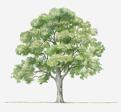 Y120907 Digital Art - Illustration Showing Shape Of Quercus Ilex (holm Oak) Tree Bearing Green Foliage by Dorling Kindersley