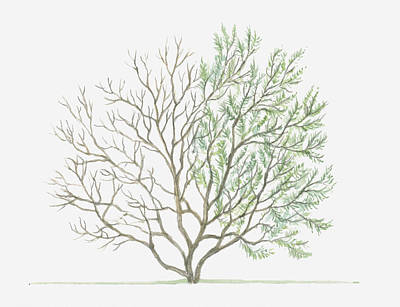 Y120907 Digital Art - Illustration Showing Shape Of Tamarix Parviflora (smallflower Tamarisk) Tree With Green Summer Foliage And Bare Winter Branches by Dorling Kindersley