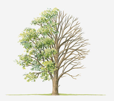 Elm Digital Art - Illustration Showing Shape Of Ulmus Glabra (wych Elm) Tree With Green Summer Foliage And Bare Winter Branches by Dorling Kindersley