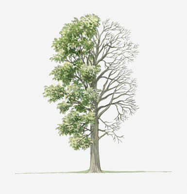 Elm Digital Art - Illustration Showing Shape Of Ulmus Laevis (white Elm) Tree With Green Summer Foliage And Bare Winter Branches by Dorling Kindersley