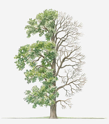 Elm Digital Art - Illustration Showing Shape Of Ulmus Procera (english Elm) Tree With Green Summer Foliage And Bare Winter Branches by Dorling Kindersley