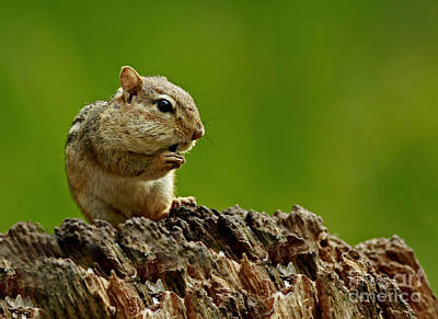 I'm Almost Stuffed- Chipmunk In The Forest Art Print by Inspired Nature Photography Fine Art Photography