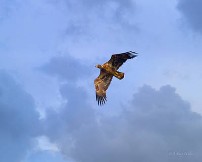Digital Art - Immature Bald Eagle Flying By by J Larry Walker
