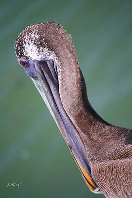 Photograph - Immature Brown Pelican by Roena King