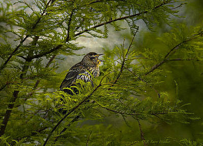Digital Art - Immature Red-winged Blackbird Singing by J Larry Walker