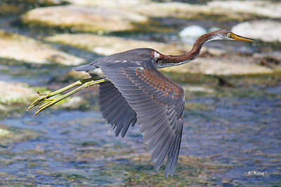 Photograph - Immature Tricolored Heron Flying by Roena King