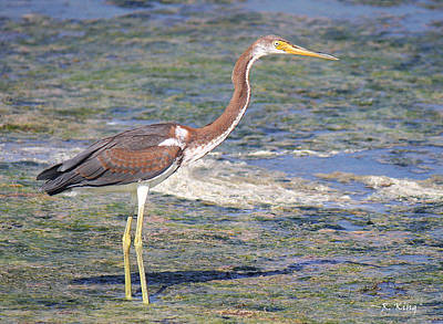 Photograph - Immature Tricolored Heron Standing At High Tide by Roena King