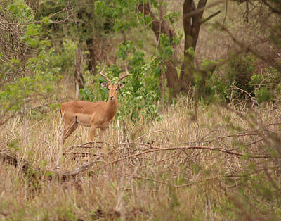 Photograph - Impala At Kruger by Joseph G Holland