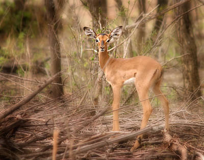 Photograph - Impala Fawn Kruger Park South Africa by Joseph G Holland