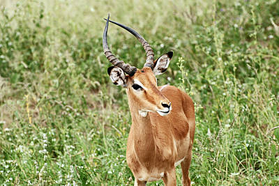 Photograph - Impala by Harvey Barrison