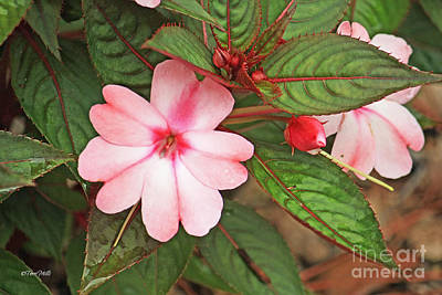 Photograph - Impatiens Flowers by Terri Mills