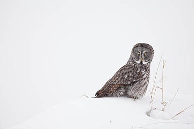 Hunting Owl Photograph - In A Field Of White by Tim Grams