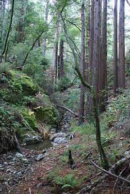Photograph - In A Redwood Forest On Mt Tamalpais by Ben Upham III