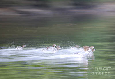 Common Merganser Wall Art - Photograph - In Action by Randy Bodkins