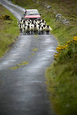 In Irish Shepherd Herds His Flock Art Print by Pete Ryan