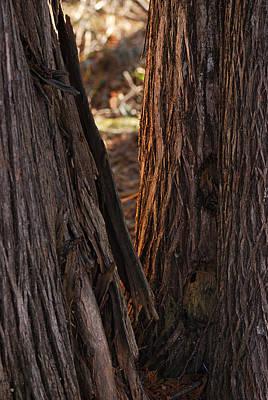 Cedar Wall Art - Photograph - In The Cedars by Susan Capuano