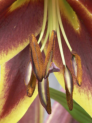 Daylily In Nature Photograph - In The Jungle by Pamela Patch