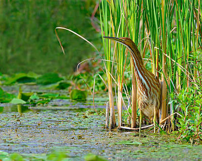 Photograph - In The Reeds by Tony Beck