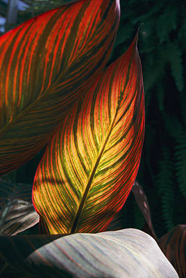 Canna Photograph - In This Vertical View, Sunlight by Stephen St. John