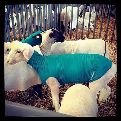 Sheep Photograph - In Tights by Tony Yu