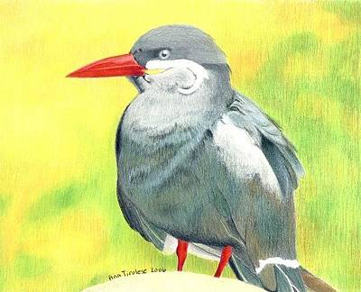 Drawing - Inca Tern by Ana Tirolese