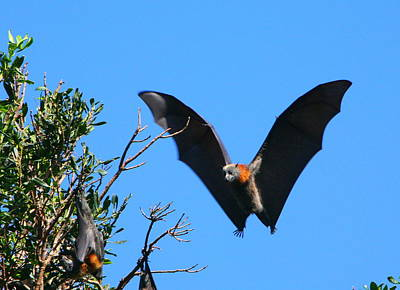 Incoming - Grey-headed Flying Fox Art Print