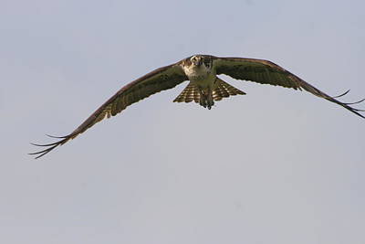 Photograph - Incoming Osprey by Christopher Kirby