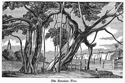 Banian Photograph - India: Banyan Tree by Granger