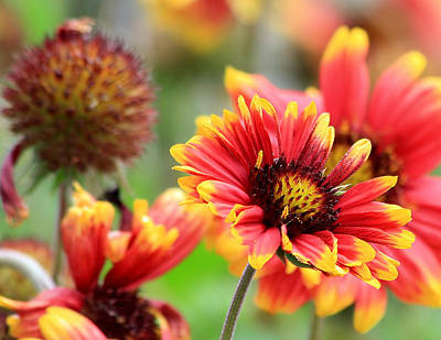 Photograph - Indian Blanket Flower by Ira Runyan