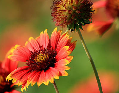 Photograph - Indian Blanket by Ira Runyan