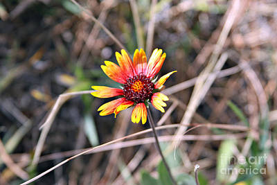 Photograph - Indian Blanket by Shawn Naranjo