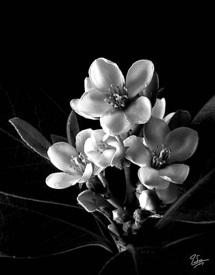 Photograph - Indian Hawthorn In Black And White by Endre Balogh