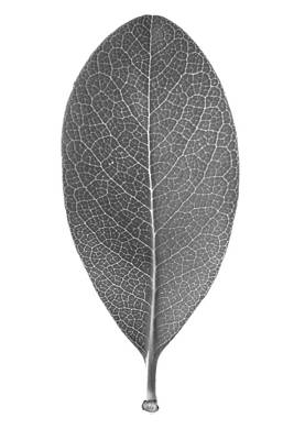 Photograph - Indian Hawthorn Leaf by Jason Smith