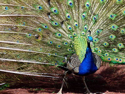 Photograph - Indian Peacock Dance by Cindy Wright