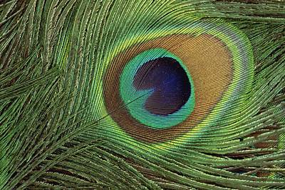 Iridescent Photograph - Indian Peafowl Pavo Cristatus Display by Gerry Ellis