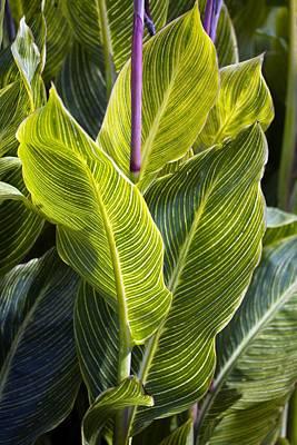 Canna Photograph - Indian Shot Plant (canna 'striata') by Dr Keith Wheeler