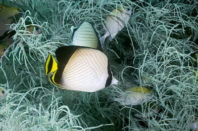 Vagabond Photograph - Indian Vagabond Butterflyfish On A Reef by Georgette Douwma