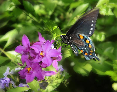 Photograph - Indigo Swallowtail by Joseph G Holland