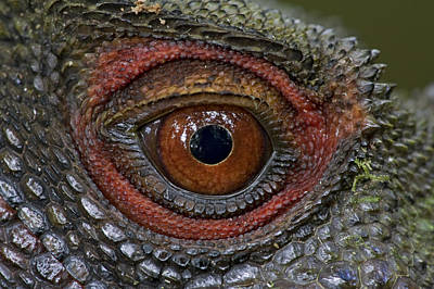 Mar2613 Photograph - Indonesian Forest Dragon Eye Papua New by Piotr Naskrecki
