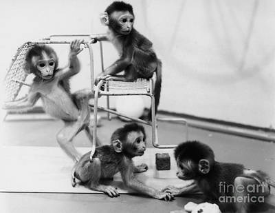 Behavioral Photograph - Infant Monkeys At Play by Science Source