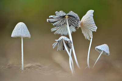 Print featuring the photograph Ink-cap Mushrooms by JD Grimes