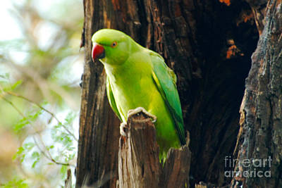 Parakeet Digital Art - Inquisitive Parakeet by Pravine Chester