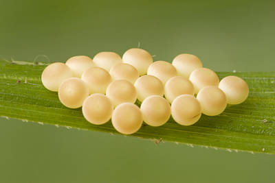 Mar2613 Photograph - Insect Eggs Guinea West Africa by Piotr Naskrecki