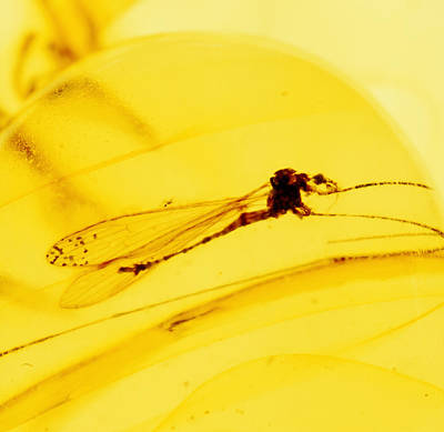 Baltic Amber Photograph - Insect In Amber by Dirk Wiersma