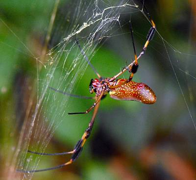 Photograph - Insects  Spiders Of Costa Rica B by William OBrien